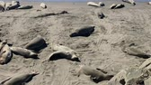 leeuwen : Sea lions resting on a Pacific Coast beach Stockvideo