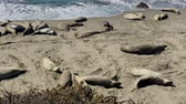 teremtmény : Sea lions resting on a Pacific Coast beach Stock mozgókép