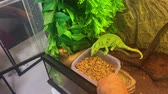 close up : Chameleon eating in a terrarium