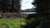 bóbr : A river in Canada flows between a forest of evergreens as strong winds blow. A beaver dam diverts the waters passage. Long shot.