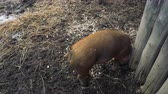 сарай : A light brown pig digs in the muddy ground with its snout. Overhead, rear view. Стоковые видеозаписи