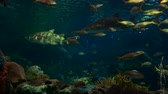 deniz yaşamı : Yellowtail snapper fish and sharks swim together in an aquarium. Stok Video