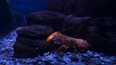 seixos : Lobsters in an aquarium exhibit. Close up. Stock Footage