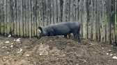 сарай : A pair of pigs dig in the dirt. Profile, long shot.