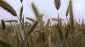 веточка : Wheat blades in a filed. Filmed from close up on a summer day in Germany. Стоковые видеозаписи