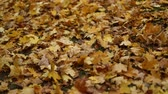 baldachýn : Fallen autumnal maple leaves in natural parkland. Rising shot. Contains People. Slow motion.