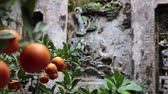 Ripe Vietnamese mandarins on tree branches and ancient wall carving in the background. Shallow depth of field.