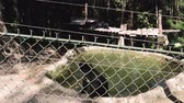 bear habitat : Sun bears playing and relaxing at the bear sanctuary of Luang Prabang, Laos. One bear takes a dip the a pool, while the other sunbathes.