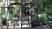 miś : Sun bear enjoying a meal seated on wooden planks in an outdoor zoo. Long shot.