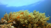brokolice : Underwater tropical colorful soft-hard corals broccoli coral (Litophyton arboreum), Underwater fish reef marine, Tropical colorful underwater seascape, Reef coral scene, Coral garden seascape, Colorful tropical coral reefs