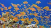 prozkoumat : Beautiful Underwater Close Up Colorful Fishes. Tropical underwater sea fishes. Underwater fish reef marine. Tropical colorful underwater seascape. Underwater reef. Reef coral scene. Coral garden seascape. Colorful tropical coral reefs