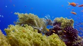 brokolice : Colorful Tropical Fishes with Lion-fish and Broccoli Coral. Underwater fish reef marine lion-fish (Pterois miles). Tropical colorful underwater seascape. Reef coral scene. coral reef. Colorful tropical coral reefs. Marine life fish garden Dostupné videozáznamy