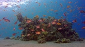 ecossistema : Underwater Colorful Tropical Fishes. Tropical underwater sea fishes. Underwater fish reef marine. Tropical colorful underwater seascape. Underwater reef. Reef coral scene. Coral garden seascape. Colorful tropical coral reefs Vídeos