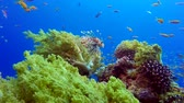 brokolice : Tropical Fishes with Lion-fish and Broccoli. Underwater tropical colorful soft-hard corals broccoli coral (Litophyton arboreum). Underwater fish reef marine. Tropical colorful underwater seascape. Reef coral scene. Coral garden seascape.