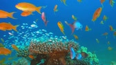 underwater footage : Blue-Green Chromis and Tropical Fishes. Tropical underwater sea fishes. Underwater fish reef marine. Tropical colorful underwater seascape. Underwater reef. Reef coral scene. Coral garden seascape. Colorful tropical coral reefs