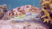 potápěč : Tropical Cuttlefish laying eggs. Tropical underwater fish reef marine pharaoh cuttlefish (Sepia pharaonis), Tropical colorful underwater seascape, Reef coral scene, Coral garden seascape, Colorful tropical coral reefs