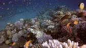 explorando : Colorful Corals and Fishes. Tropical underwater sea fishes. Underwater fish reef marine. Tropical colorful underwater seascape. Underwater reef. Reef coral scene. Coral garden seascape. Colorful tropical coral reefs Stock Footage