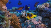 sasanka : Red Sea Anemone and Clownfish. Underwater tropical colorful clown-fish (Amphiprion bicinctus) and sea anemones. Underwater fish reef marine. Tropical colorful underwater seascape. Reef coral scene. Coral garden seascape. Colorful tropical coral reefs