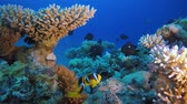 sasanka : Tropical Clown Fish and Sea Anemone. Underwater tropical colorful clown-fish (Amphiprion bicinctus) and sea anemones. Underwater fish reef marine. Tropical colorful underwater seascape. Reef coral scene. Coral garden seascape. Colorful tropical coral reef Dostupné videozáznamy