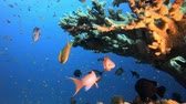 underwater footage : Tropical Fish Coral Reef. Underwater sea fish. Tropical reef marine. Colorful underwater seascape. Soft-hard corals seascape. Reef coral scene. Coral garden. underwater ambience coral reefs.