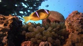 clownfish : Underwater Clownfish and Sea Anemones. Underwater tropical colorful clown-fish (Amphiprion bicinctus) and sea anemones. Underwater fish reef marine. Tropical colorful underwater seascape. Reef coral scene. Coral garden seascape. Colorful tropical coral re