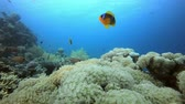 Clownfish and Marine Garden. Underwater tropical colourful clown-fish (Amphiprion bicinctus) and sea anemones. Underwater fish reef marine. Tropical colourful underwater seascape. Reef coral scene. Coral garden seascape. Colourful tropical coral reefs