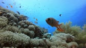 Colourful Underwater Fish and Corals. Tropical underwater sea fish. Underwater fish reef marine. Soft and hard corals. Underwater fish garden reef. Reef coral scene. Coral garden seascape. Colourful tropical coral reefs.