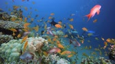 Colourful Underwater Seascape and Diver. Tropical underwater sea fish. Underwater fish reef marine. Soft and hard corals. Underwater fish garden reef. Reef coral scene. Coral garden seascape. Colourful tropical coral reefs. Стоковые видеозаписи