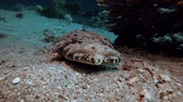 krokodyl : Crocodile Fish Red Sea. Picture of flat-head crocodile-fish (Papilloculiceps longiceps) in the tropical reef of the Red Sea Dahab Egypt. Wideo