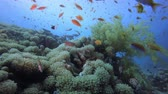 Reef Coral Scene. Tropical underwater sea fish. Colourful tropical coral reef. Scene reef.  Marine life sea world. Underwater fish reef marine. Tropical colourful underwater seascape. Underwater fish garden reef. Reef coral scene. Coral garden seascape.