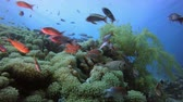 Tropical Colourful Underwater Seascape. Tropical fish reef marine. Soft-hard corals seascape. Vibrant coral garden. Reef coral scene. Beautiful soft coral. Sea coral reef. Soft coral broccoli. Coral scene