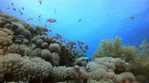 Tropical Coral Garden. Tropical fish reef marine. Soft-hard corals seascape. Vibrant coral garden. Reef coral scene. Beautiful soft coral. Sea coral reef. Soft coral broccoli. Coral scene Стоковые видеозаписи