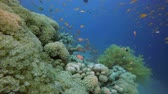 Underwater Colourful Scenery. Underwater colourful sea fish. Tropical reef marine. Corals tropical life. Colourful underwater seascape. Soft-hard corals seascape. Reef coral scene. Coral garden. underwater happy orange fish