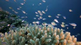 Underwater Scene and Blue-Green Fish. Underwater fish reef blue-green chromis (Chromis viridis) and fire corals. Tropical colourful underwater seascape. Underwater reef. Reef coral scene. Coral garden tropical seascape. Colourful tropical sea coral reef