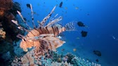 Underwater Scene Lion-Fish. Tropical underwater fish reef marine lion-fish (Pterois miles). Tropical colourful underwater seascape. Reef coral scene coral reef. Colourful tropical coral reefs. Marine life fish garden Стоковые видеозаписи