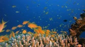 Underwater Orange Fish Scenery. Underwater sea fish. Tropical reef marine. Colourful underwater seascape. Soft-hard corals seascape. Reef coral scene. Coral garden. Underwater ambience coral reefs. Стоковые видеозаписи