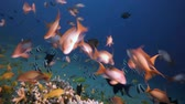 Underwater Fish on Vibrant Coral Garden. Underwater sea fish. Tropical reef marine. Colourful underwater seascape. Soft-hard corals seascape. Reef coral scene. Coral garden. Underwater ambience coral reefs.