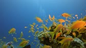 Tropical Sea Fishes Underwater. Underwater sea fish. Tropical fish reef marine. Colourful underwater seascape. Soft-hard corals seascape. Reef coral scene. Coral garden seascape. Underwater ambience coral reefs