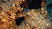 mergulho : Underwater Tropical Yellow Mouth Moray. Tropical underwater fish reef marine yellow mouth moray (Gymnothorax nudivomer). Tropical colorful underwater seascape. Reef coral scene, coral reef. Colorful tropical coral reefs. Marine life fish garden
