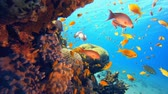 Лев : Tropical Coral Reef Seascape. Underwater sea fish. Tropical reef marine. Colourful underwater seascape. Soft-hard corals seascape. Reef coral scene. Coral garden. Underwater ambience coral reefs. Стоковые видеозаписи