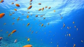 Лев : Underwater Sea Tropical Life. Underwater colourful sea fish. Tropical reef marine. Corals tropical life. Colourful underwater seascape. Soft-hard corals seascape. Reef coral scene. Coral garden. Underwater happy orange fish