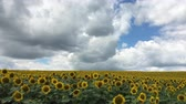 botany : sunflowers against blue sky Stock Footage