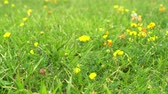 gomos : Small yellow flower sways in the wind in a field against a green grass