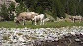 falésias : calf drinks milk from the udder of a cow in a meadow near a mountain river
