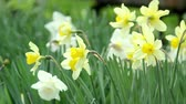 springtime : Narcissus on a sunny day, close-up Stock Footage
