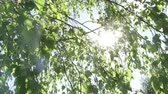 quebra cabeças : They make their way through the leaves of birch bright sun rays