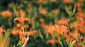 orange daylily : Daylily flower for adv or others purpose use Stock Footage