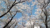 despertar : The Blossoming cherry trees in an garden
