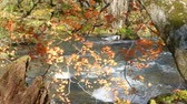 primitivo : Mysterious Oirase Stream flowing through the autumn forest in Towada Hachimantai National Park Vídeos