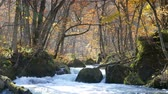 river : Mysterious Oirase Stream flowing through the autumn forest in Towada Hachimantai National Park Stock Footage
